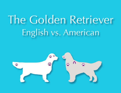 The Golden Retriever: English vs American